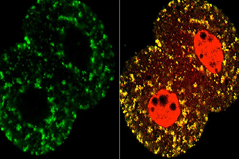 Migration of TCA cycle protein from the mitochondria (left, green) to the nuclei (right, red) in the two-cell stage mouse embryo.
