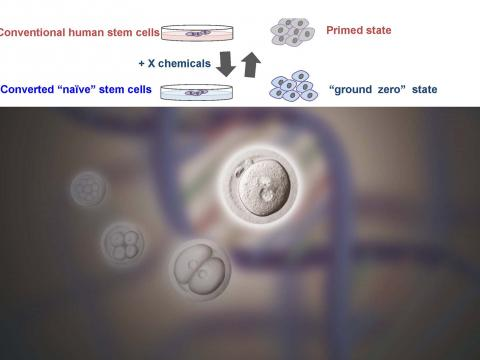 Study  was published in the October 2, 2014 edition of the journal  Cell Stem Cell