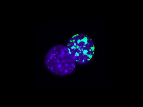 Immunoflurescence staining