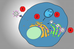 The steps of the virus growth cycle that can be targeted with therapies: